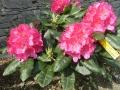 mini-rhododendron1