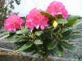 mini-rhododendron2