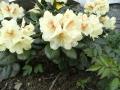 mini-rhododendron3