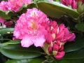 mini-rhododendron4