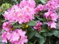 mini-rhododendron5