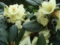 mini-rhododendron6