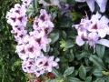 mini-rhododendron7
