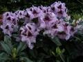 mini-rhododendron8