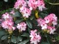 mini-rhododendron9